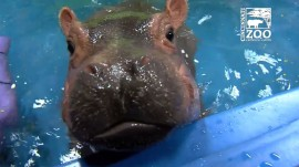 Watch Fiona the hippo take a dive!