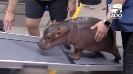 Fiona the hippo takes a walk on her new ramp!