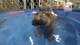 Watch Fiona the hippo master the water like a champ!