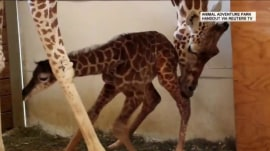 April the Giraffe (finally) gives birth to her calf!