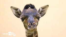 Adorable newborn giraffe born at the Toledo Zoo