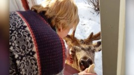 Deer visits woman's home twice each day for a snack