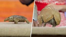Pancake tortoise, three-banded armadillo: Meet animals that can beat the heat
