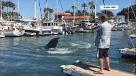 Rescue workers try to save stranded humpback whale in California harbor