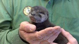 Adorable otter rescued and nursed back to health