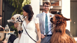 Llamas are bringing out the lloony side of weddings