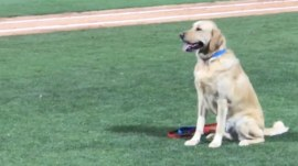 Dog accidentally knocks someone down on way around bases, is still very lovable