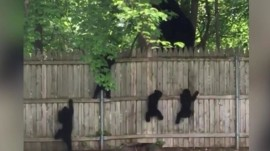 Watch this adorable bear cub try to follow his family over a fence