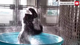 Watch Zola the gorilla have the best time in a mini pool