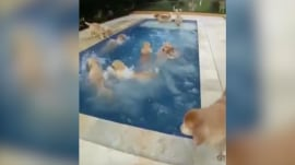 Watching these golden retrievers swarm a pool is what dreams are made of