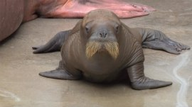 This new adorable baby walrus has the cutest waddle