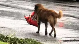 Hurricane Harvey: Otis the dog carrying bag of food goes viral