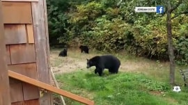 Canadian politely asks bears to leave… and they do!