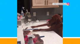 See this determined dog stretch to the limit for bite of steak