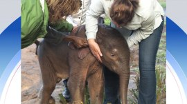 Watch an orphaned baby elephant saved from drowning in a river