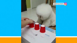 This pup is paw-some at playing the old shell game