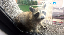 Raccoon scales skyscraper in St. Paul