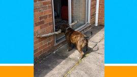 Adorable dog tries real hard to get big stick through door
