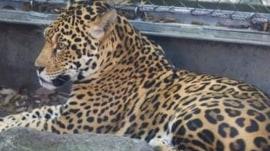 Jaguar captured after escaping New Orleans' Audubon Zoo enclosure