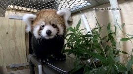 We can't get enough of this adorable baby red panda