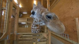 April the Giraffe has a due date!