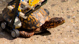 Lego wheelchair is helping injured turtle heal