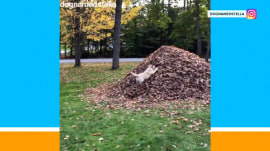 Watch: Amazing dog gleefully leaps into pile of leaves