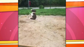 Ruffin' it: Adorable pooch loves spinning in the dirt
