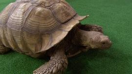 KLG and Hoda meet a 100-pound tortoise, a coati and more!