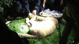 Mountain lion captured in California parking lot