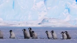 Baby penguins take a stroll in adorable video