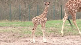 2-week-old giraffe shows off terrific running skills