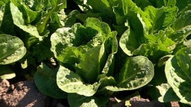 CDC: Don't eat any type of romaine lettuce