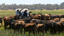 Holy cow! Enormous steer becomes internet sensation