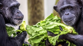 These retired research chimps find new home at Louisiana sanctuary