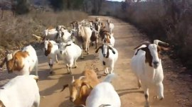 Watch a herd of goats gallop alongside jogger