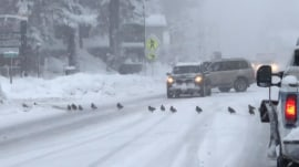 Endless line of ducks stops traffic amid California storm