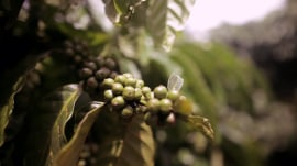 Climate change is threatening the coffee industry