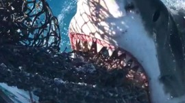 Great white shark takes a bite from Florida fishers' chum bag