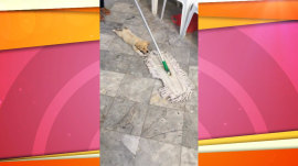 Cute puppy grabs onto shaggy mop, enjoys ride across floor