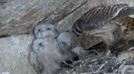 Ohio construction company halts $11 million project to save baby falcons