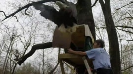 Good catch! Worker falls off ladder releasing bald eagle into the wild