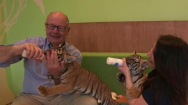 So cute! Meet the new tiger cubs at the Bronx Zoo