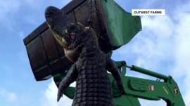 800-pound cattle-eating gator caught in Florida