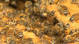 Bee farm helps redeem poor Chicago neighborhood