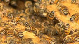 Bee farm helps redeem poor Chicago neighborhood