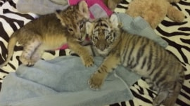 Lion and tiger cub being raised together in New Jersey
