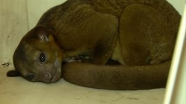 99-year-old Florida woman wakes up to an exotic kinkajou on her chest