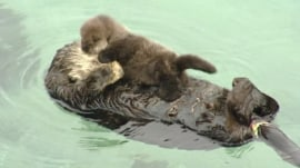 You 'otter' get a look at this cute baby otter