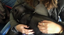 Pig on a plane?! Airline passengers abusing rules so pets fly for free